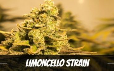 limoncello-strain-information-and-review