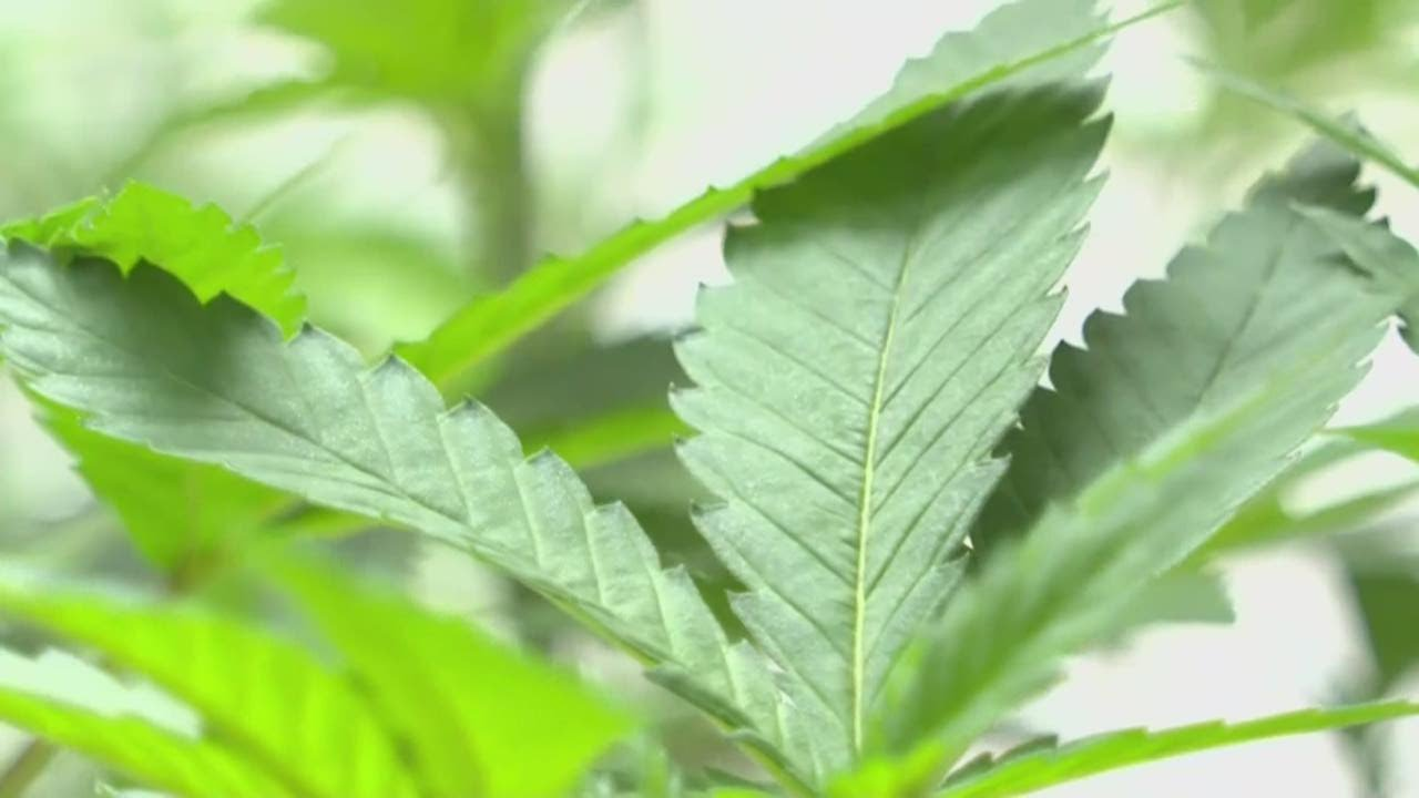 cannabis-caregivers-fight-new-draft-of-regulation-rules