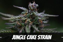 jungle-cake-strain-information-and-review