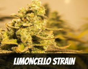 Limoncello Strain Information and Review