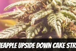 pineapple-upside-down-cake-strain-information-and-review