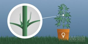Sexing Marijuana Plants - How to see if your cannabis plant is male or female