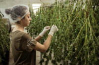 due-diligence-for-suppliers-cannabis-supply-chain-partners