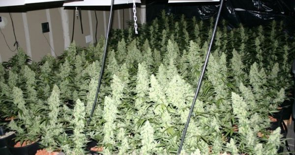 sea-of-green-sog-technique-for-a-bigger-harvest-yields