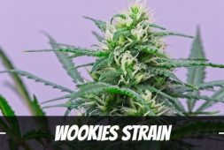 wookies-strain-information-and-review