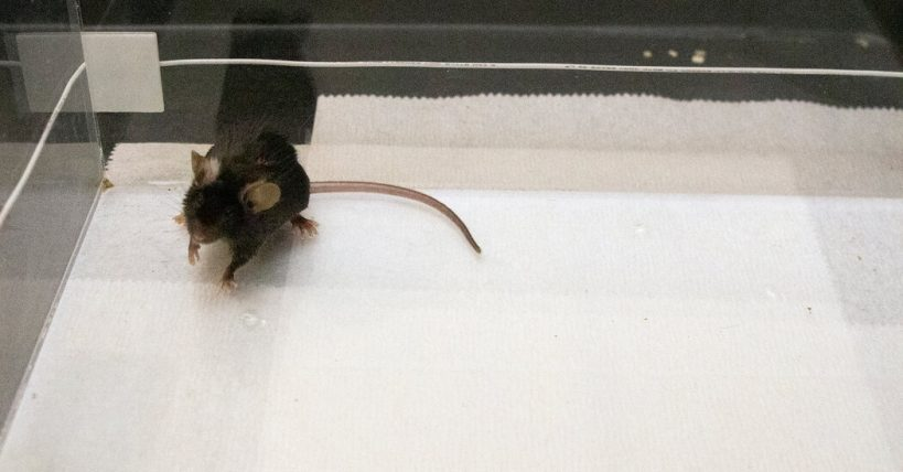 scientists-drove-mice-to-bond-by-zapping-their-brains-with-light